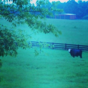 This cow seemed really interested in the fact we were out and about in the rain!